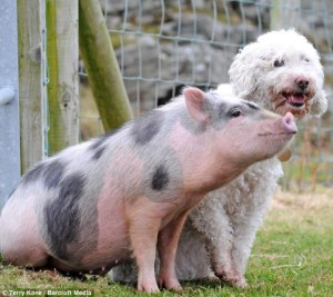 pig and dog